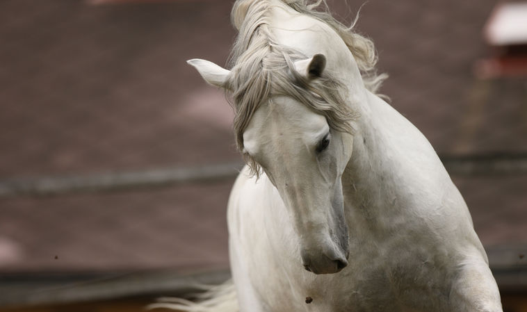The Lipizzaner